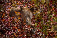 Cinnamon Black Bear in a berry bush, Grand Teton National Park, Wyoming (diana_robinson) Tags: cinnamonblackbear bear bush berries berrybush grandtetonnationalpark wyoming jackson blackbear bearinthewild animal wildlife nationalpark eatingberries
