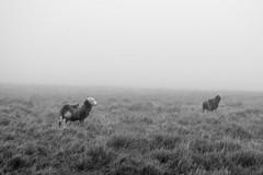 Into The Mist (richardsolway) Tags: mist weather bnw blackandwhite sheep animals livestock landscape nature dartmoor devon moor