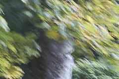 This one's for Ally ;o) (Elisafox22 A bit ON/OFF at the moment!) Tags: elisafox22 sony a58 meyeroptik lens meyeroptikorestor bokehmonster 135mmf28 15blade vintagelens tree leaves camerashake autumn leithhall kennethmont aberdeenshire scotland elisaliddell©2017 hss sliderssunday artdigital awardtree