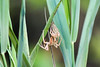 Nursery Web Spider with newly shed skin (monikahschuschu) Tags: spider nurserywebspider bug insect bluehillsreservation nature wildlife outdoors invertebrate molt molting