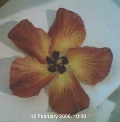 hibiscus.tiliaceus.flower.5 (dave.kimble) Tags: hibiscustiliaceus coastcottonwood cottonwoodhibiscus hibiscus malvaceae arfp nswrfp qrfp nfrfp lhrfp vrfp littoralarf riparianarf arfflowers maroonarfflowers