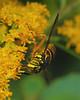 Spilomyia Syrphid Fly (milesizz) Tags: spilomyialongicornis diptera milwaukee wisconsin wi aschiza syrphidae syrphidflies eristalinae milesiini