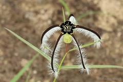 IMG_2704 Ceropegia (indet) (Raiwen) Tags: ceropegia asclepiadoideae apocynaceae gentianales eudicots plant flower moyenneguinée guinea westafricaafrica indet