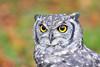 D3S_8202_small (F VDS) Tags: owl yellow eyes portrait 200500mm d3s bokeh