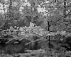 Beech Leaves (Hyons Wood) (Jonathan Carr) Tags: tree leaf 4x5 5x4 rural northeast landscape ancientwoodland black white monochrome largeformat toyo45a bokeh