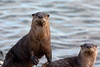 River Otters (brian.bemmels) Tags: lontracanadensis lontra canadensis northamericanriverotter otter riverotter ionapark jetty richmond bc canada
