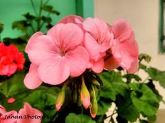 Morning Bliss... (Genius Wizard) Tags: sikkim himalayas northeastindia gangtok winterflowers