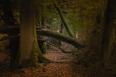 Across an autumn forest (Thos A.) Tags: forest autumn trees path tree forêt automne arbre arbres leaves leaf feuillage tronc canon eos eos80d bourgogne burgundy nièvre