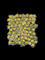 58562.01 Erigeron philadelphicus (horticultural art) Tags: horticulturalart erigeronphiladelphicus erigeron fleabane flowers goneby rectangle