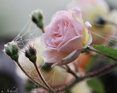 Roses with spiderwebs (Ute Scheele) Tags: rose roses blossom bloom blume canon canoneos80d eos80d eos digital tamron spiderweb spinnennetz outdoor plant pflanze plants planta pflanzlich natur nature natural schärfentiefe autumn herbst morgentau blüte makro macro