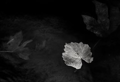 repose... (Alvin Harp) Tags: southumpquariver oregon i5 tricity surprisevalley monochrome bw blackandwhite leafart leaves stillwater autumn sonyilce9 fe2470mmf28gm october 2017 alvinharp