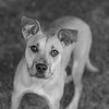 Zoey_Stevens04Nov201768-Edit.jpg (fredstrobel) Tags: dogs pawsatanta phototype atlanta blackandwhite usa animals ga pets places pawsdogs decatur georgia unitedstates us