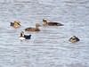 Eider ducks (_jons_) Tags: hilbreisland hilbre nature naturephotography wildlife wildlifephotography birds birding birdingphotography birdwatching birdphotography