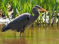 Great Blue Heron Fishing (Carbonman_) Tags: greatblueheron fishing lostlagoon stanleypark