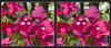 Longwood Gardens Flowers 8 - Crosseye 3D (DarkOnus) Tags: pennsylvania bucks county panasonic lumix dmcfz35 3d stereogram stereography stereo darkonus longwood gardens flowers scenic scenery flower botanical garden crossview crosseye