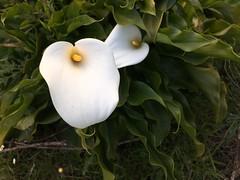 Wild Lilies