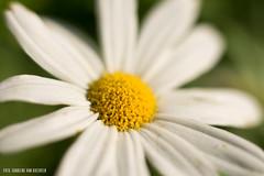 Oxeye Daisy (Charlene van Koesveld) Tags: macro daisy oxeyedaisy flowers flower floral flora flowerhead yellow white beautyinnature nature closeup plant leucanthemumvulgare bright depthoffield
