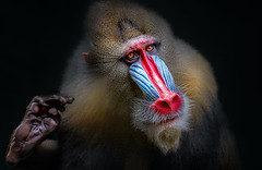 Ich grüße euch (ellen-ow) Tags: affen drill ernst mandrill pavianartige zooduisburg zoos tier monkey säugetier nikond5 ellenow animal porträt bravo