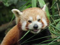 Red Panda (seanwalsh4) Tags: redpanda 7dwf sundaysfauna