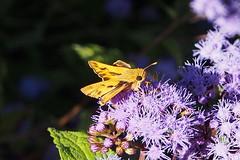 Fiery Skipper (Jim Atkins Sr) Tags: fieryskipper skipper butterfly hylephilaphyleus macro closeup ageratum dottylergardens newbern northcarolina olympuspenepm2 olympus