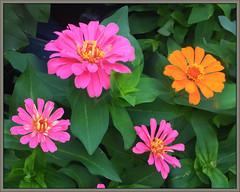 (Cliff Michaels) Tags: iphone iphone6 photoshop pse9 kroger flowerd flora petals