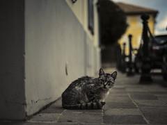 Busseto e dintorni (Lorenzog.) Tags: busseto emiliaromagna italy nikon d700 makingdifference ilobsterit cat pet depthoffield street road pathway