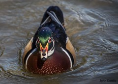 Wood Ducks of Perrin Park (flintframer) Tags: tamron 18400 canon eos 7d markii wow dattilo nature wildlife duck wood male perrin park jeffersonville indiana water swimming