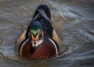 Wood Ducks of Perrin Park