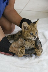 "Serval Cat • <a style=""font-size:0.8em;"" href=""http://www.flickr.com/photos/152934089@N02/37566440426/"" target=""_blank"">View on Flickr</a>"