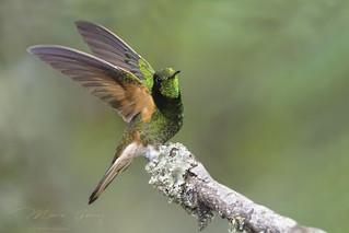 The buff-tailed coronet (Boissonneaua flavescens)