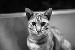 Cat portrait (*** Joe Wild ***) Tags: augen eye blackandwhite black white schwarz weiss dof rauschen noise fe 50mm f18 ƒ20 sony ilce7m2 iso3200 night nacht nachts dunkel bw bnw blackwhite blacknwhite kontrast