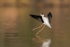 Black-necked stilt (nikunj.m.patel) Tags: stilt shorebird birds avian wildlife nature outdoors arizona gilbert southwest nikon beauty blackneckedstilt fall