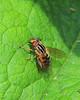 Lejops Syrphid Fly (milesizz) Tags: lejopslineatus diptera milwaukee wisconsin wi eristalis eoseristalis eristalistransversa eristalini aschiza syrphidae syrphidflies eristalinae helophilina