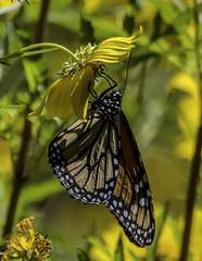 MonarchButterfly_SAF1575 (sara97) Tags: danausplexippus butterfly copyright©2017saraannefinke endangered insect missouri monarch monarchbutterfly nature outdoors photobysaraannefinke pollinator saintlouis towergrovepark