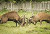 (_jyphotography) Tags: photography pictures jyphotography jypictures animalphotography animals animal canon7d canon canonphotography wildlife wildlifephotography nature naturephotography stag deer deerphotography reddeer rut deerrut reddeerrut