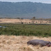Hippo resting