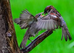 Feed Me! (dbking2162) Tags: birds bird nature nationalgeographic wildlife feeding animal indiana outside outdoor