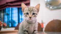 """UHH...HELLO..."" 😻 (stratman² (busy-taking care of Joey)) Tags: canonphotography powershotg7xmarkii iso1250 kitten catmoments kittyschoice gatito chat kitteh gato cute kucing comel neko cc100 kittenmagazine kittysuperstar notmycat"