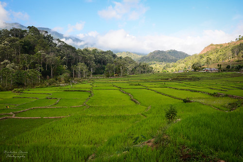 Indonesia | Flores Rice Paddies