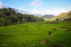 Indonesia | Flores Rice Paddies (Nicholas Olesen Photography) Tags: indonesia asia horizontal flores rice paddies green fields agriculture farming travel nikon d7100 trees landscape nature