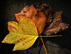 AutumnLeaf03