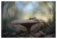 Autumn 2017 (leo.roos) Tags: mushroom mushrooms fungus fungi paddenstoel paddestoel paddenstoelen paddestoelen schimmel schimmels zwam zwammen leaf blad leaves bladeren swirly autumn fall herfst beerzebulten cinelens movielens cmount a7rii taylortaylorandhobson cookekinic1inch15 darosa leoroos