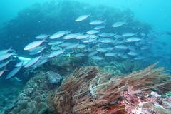 Schooling fish in Eagle Rock dive site in Raja Ampat (sarah.handebeaux) Tags: raja ampat indonesia diving reef