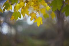 les feuilles mortes (Lamson**NG) Tags: fall autumn bokeh lamson impression leaves aging dying yellow season