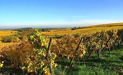 Le vignoble de Blienschwiller (mamietherese1) Tags: world100f earthmarvels50earthfaves phvalue