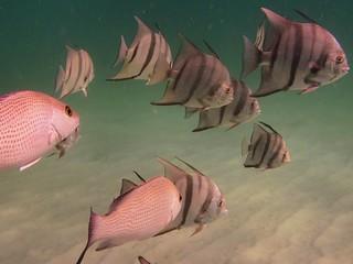 Spadefish & Snapper at Navarre Beach Marine Sanctuary