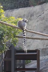 Lemur / Taronga Zoo