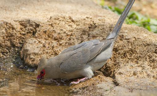 Red-faced Mousebird, drinking , Botsolano , _9205