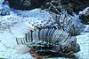 Rascasses volantes (Jean (tarkastad)) Tags: tarkastad monaco bestioles fisk fish poisson rascassevolante commonlionfish devilfirefish pteroismiles