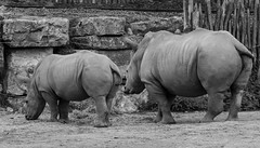 what are you looking at? (Stijn Daniels) Tags: rhinoceros neushoorn pairi daiza dierentuin zoo canon rebel 600d 70200f4l blackandwhite black white animal